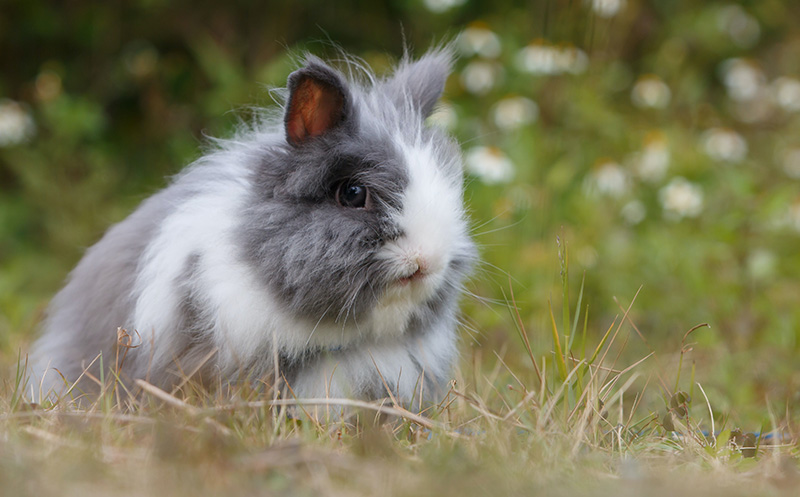La laine, l'angora - Un lapin